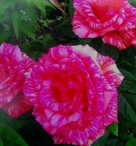 Пинк интуишн -роза чайно-гибридная