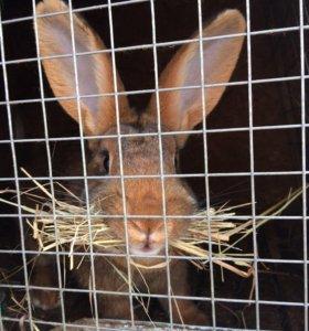 Кролики, Фландеры.