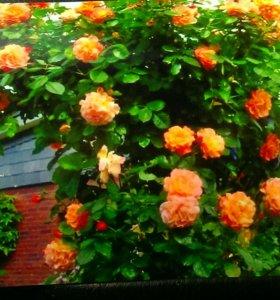 Роза плетистая Компейшен