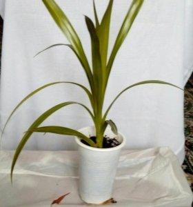 Панданус, комнатное растение.