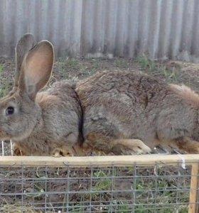 Кролики породы Фландр.
