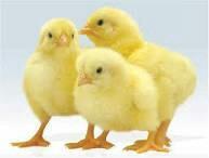 Цыплята бройлеры 3-дневные
