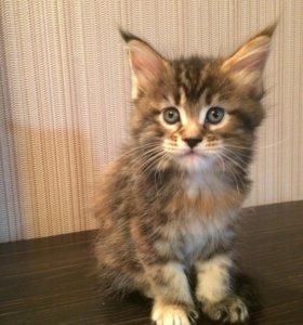 Предлагаются к резервированию котята мейн-кун