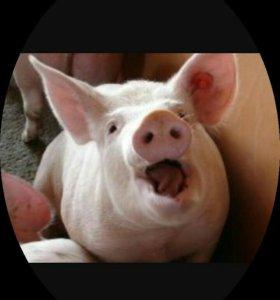 Мясо свинины. С доставкой в город.
