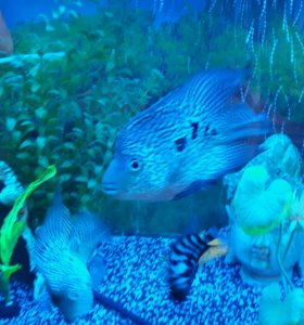 2 Рыбки.  цихлида попугай