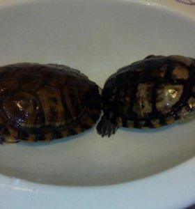 Красноухие черепахи даром