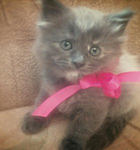 Котята породы Мейн -кун
