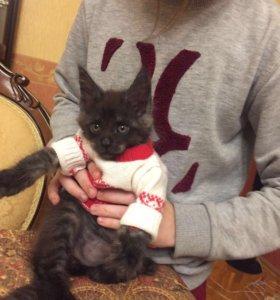 Продаю котят порода мейн кун