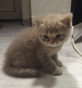 шотландский прямоухий котёнок, возраст 1 месяц.