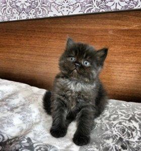 Котята от перса (экзот)