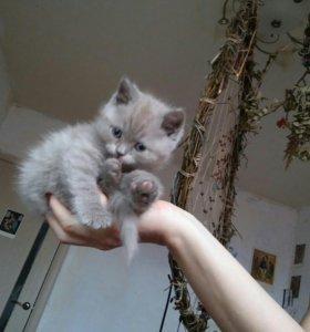 Британский котёнок.Мальчик.бронь до 1 мая.