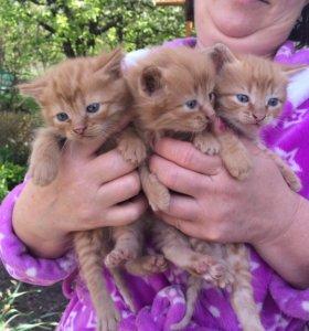 Отдам рыженьких котят в хорошие руки
