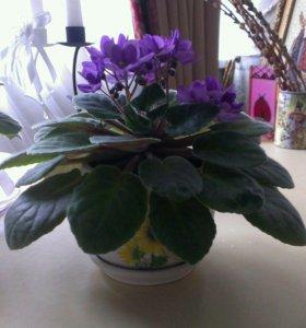 Фиалка цветы