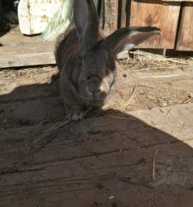 Кролики самка и самец