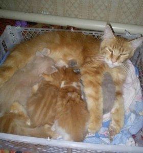 Продам котят Мейн Куна