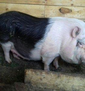 Вьетнамская свинка
