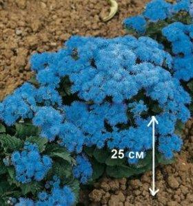 Рассада цветов ( Агератум голубой)