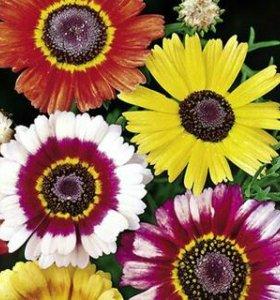 Рассада цветов ( хризантемы)