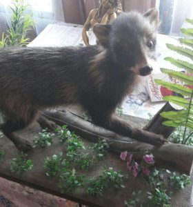 Чучело енотовидной собаки