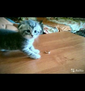 Котята, 1,5 месяца от шотландской вислоухой,