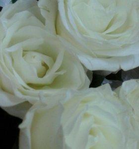 Нежная роза из Голландии
