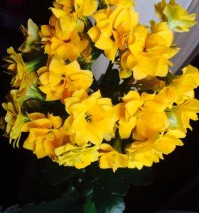 Продам цветики фикус декабрист и т.д.