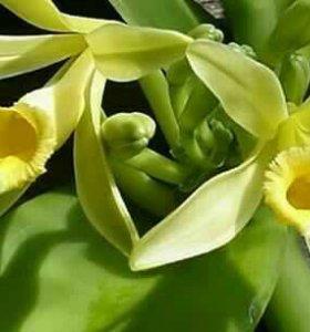 Ваниль (Vanilla planifolia 'Lemon Splash' )