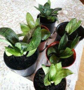 "Комнатное растение ""Сансевиерия""(ханни)"
