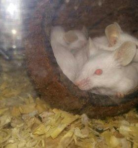 Кормовые Мыши.