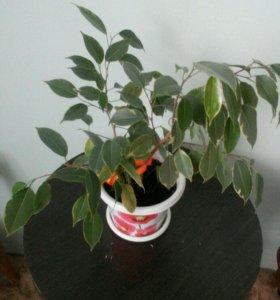 Цветок фикус-дерево