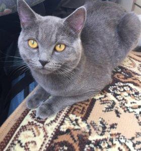 Кот британец , вязка с котом)))