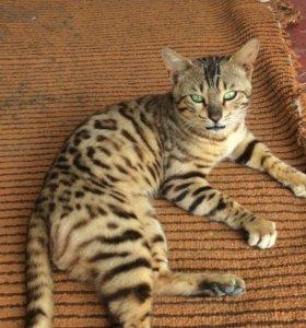 Кот Бенгал красивый