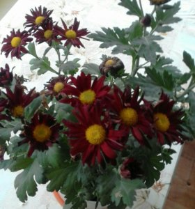 Саженцы комнатных цветов в горшочках