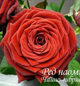Кусты роз