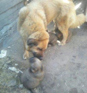 Хотошо щенки