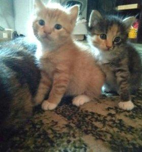 Трехцветный котенок девочка