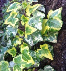 Плющ пестролистный ( садовое растение)