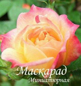 Розы в тубах и горшках