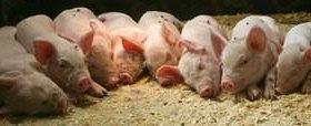Свиньи 6,5 месячные, породы Ландрас