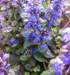 Живучка ползучая (садовое растение)