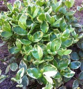 Бересклет Форчуна ( садовое растение )