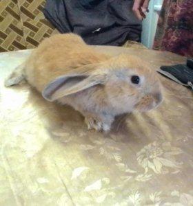 Кролики французский вислоухий плюс ризен
