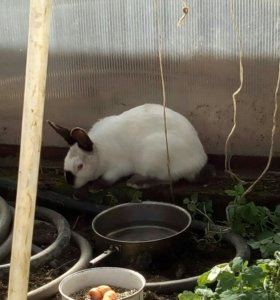 Продажа кроликов калифорния