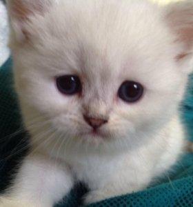 Синеглазые Британские котята