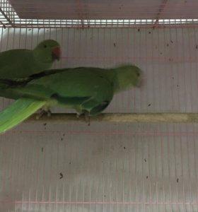 Ожереловые попугаи молоденькие