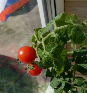 Комнатная помидорка