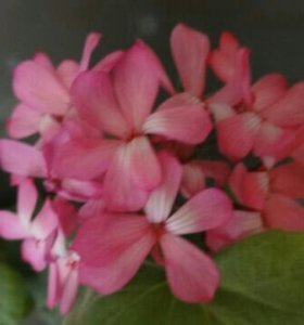 Пеларгония (герань) ярко-розовая