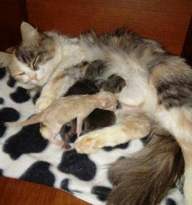 Котята в  добрые руки от породистой кошки