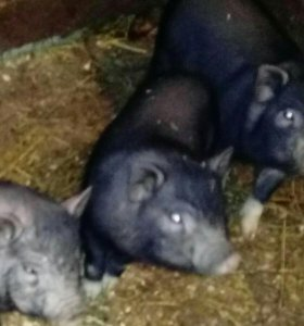 Свинки вьетнамские-вислобрюхие