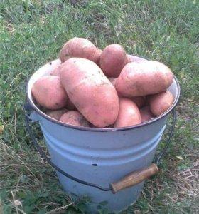 Картошка со своей дачи
